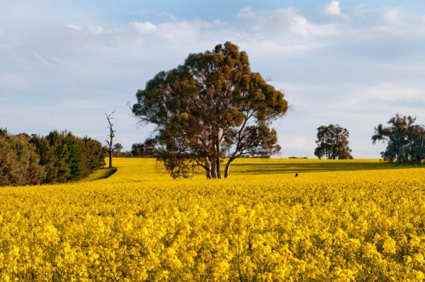 tree in canola field