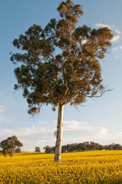 tree in yellow canola field