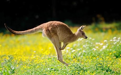 Kangaroo_1786273c